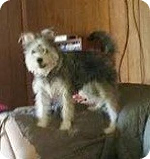 Schnauzer (Standard)/Schnauzer (Miniature) Mix Dog for adoption in Dallas, Texas - Barbie