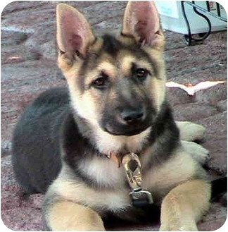 German Shepherd Dog Puppy for adoption in Poway, California - Lassie