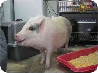 Pig (Potbellied) for adoption in Las Vegas, Nevada - Roamey - Mack, CO