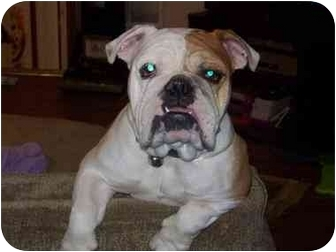 English Bulldog Dog for adoption in conyers, Georgia - spike