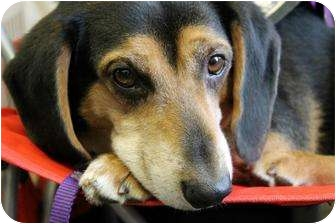 Hound (Unknown Type)/Beagle Mix Dog for adoption in Cincinnati, Ohio - Bowser: Covedale