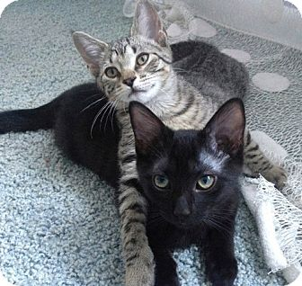 Domestic Shorthair Kitten for adoption in Chicago, Illinois - Marcie & Charlie Brown