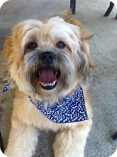 Lhasa Apso Dog for adoption in Denver, Colorado - Zimba