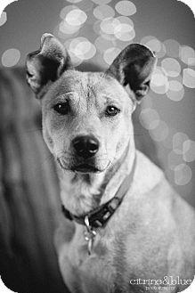 German Shepherd Dog/Australian Cattle Dog Mix Dog for adoption in Portland, Oregon - Lula