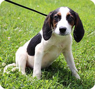 Hound (Unknown Type) Mix Puppy for adoption in Bedford, Virginia - Lizzy