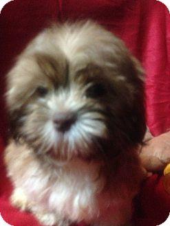 Shih Tzu Dog for adoption in Hazard, Kentucky - Bridget