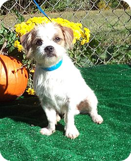 Terrier (Unknown Type, Small) Mix Dog for adoption in Marietta, Georgia - FRANCO