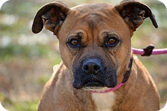 Boxer Mix Dog for adoption in Villa Hills, Kentucky - Bailey