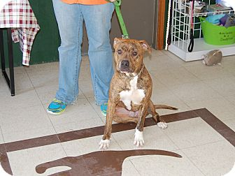 Pit Bull Terrier Mix Dog for adoption in North Judson, Indiana - Bishop