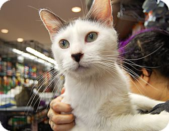 Domestic Shorthair Cat for adoption in Brooklyn, New York - Keith