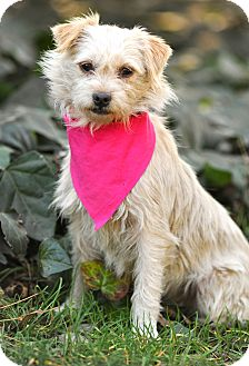 Border Terrier Mix Dog for adoption in Los Angeles, California - Apple