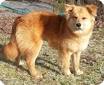 Golden Retriever/Chow Chow Mix Puppy for adoption in Spring Valley, New York - Vega