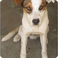 Adopt A Pet :: Cobie - Raleigh, NC