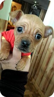 Chihuahua/Dachshund Mix Puppy for adoption in Liberty Center, Ohio - Roscoe