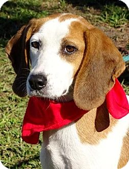 Beagle/Hound (Unknown Type) Mix Dog for adoption in Port St. Joe, Florida - Heather-DAWGS