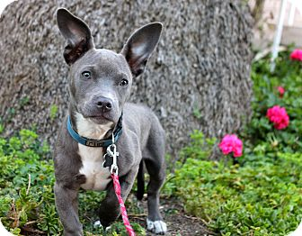 Rat Terrier/Pit Bull Terrier Mix Puppy for adoption in Los Angeles, California - Cookie Monster