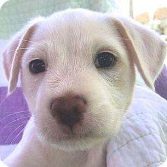 Bichon Frise/Spaniel (Unknown Type) Mix Puppy for adoption in La Costa, California - Luke