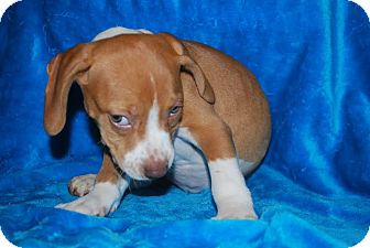 Beagle Mix Puppy for adoption in ST LOUIS, Missouri - Gerdi