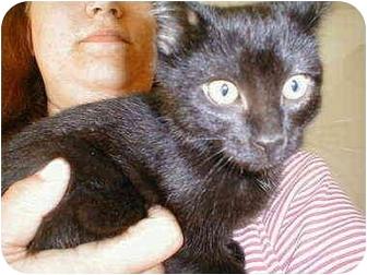 Domestic Shorthair Kitten for adoption in Proctor, Minnesota - Baloo