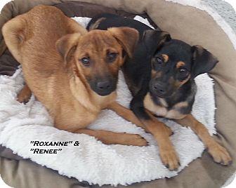 Australian Shepherd/Labrador Retriever Mix Puppy for adoption in El Cajon, California - Roxanne