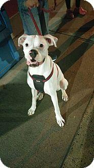 Boxer Dog for adoption in Treton, Ontario - Jack