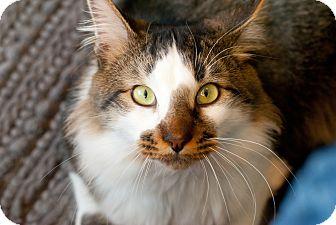 Domestic Longhair Cat for adoption in Marietta, Georgia - Bear