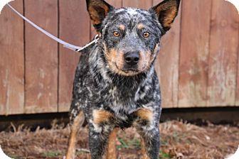 Australian Cattle Dog Mix Dog for adoption in Elyria, Ohio - Nash