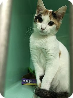 Calico Cat for adoption in Rockaway, New Jersey - Chrissy