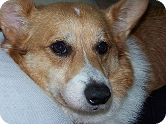 Corgi Dog for adoption in Bloomington, Illinois - Miles