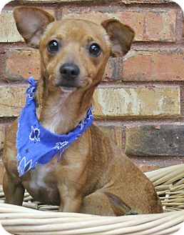 Dachshund Mix Dog for adoption in Benbrook, Texas - Prince