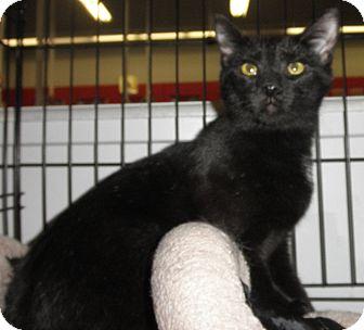 Domestic Shorthair Cat for adoption in Highland Park, New Jersey - Sonny Til