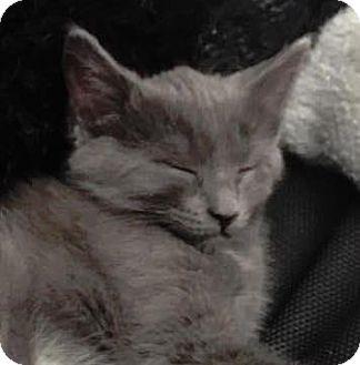 Domestic Shorthair Kitten for adoption in West Des Moines, Iowa - Sarafina