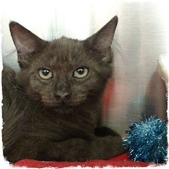 Havana Brown Kitten for adoption in Pueblo West, Colorado - Sting