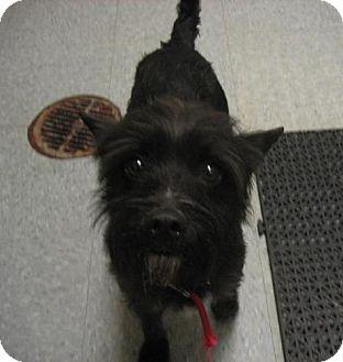 Terrier (Unknown Type, Medium)/Scottie, Scottish Terrier Mix Dog for adoption in Kankakee, Illinois - Duncan