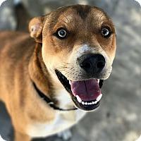 Adopt A Pet :: Linus - Hanna City, IL