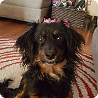 Dachshund/Papillon Mix Dog for adoption in Colorado Springs, Colorado - I'll-Be