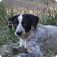 Adopt A Pet :: Cooper - Naugatuck, CT