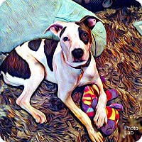 American Pit Bull Terrier Mix Dog for adoption in Denton, Texas - Opal