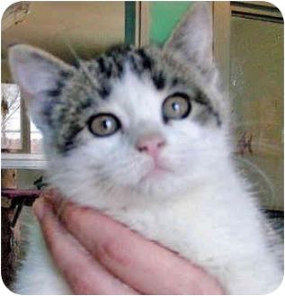 Domestic Shorthair Kitten for adoption in Mt. Prospect, Illinois - Jazzene