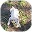 Photo 4 - Jindo/Samoyed Mix Puppy for adoption in Sacramento, California - Haley