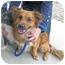 Photo 4 - Spaniel (Unknown Type)/Dachshund Mix Dog for adoption in Marseilles, Illinois - Louie