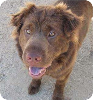 Chesapeake Bay Retriever/Shar Pei Mix Dog for adoption in Sacramento, California - Coco