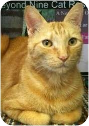 Domestic Shorthair Cat for adoption in Fort Lauderdale, Florida - Milo