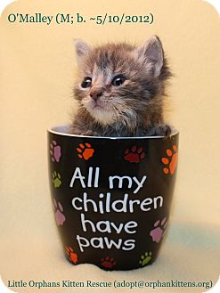 Domestic Shorthair Kitten for adoption in Union, Kentucky - O'Malley