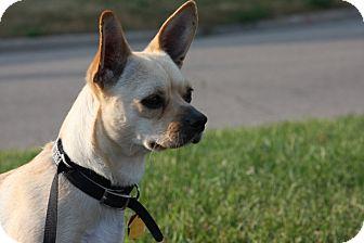 Chihuahua/French Bulldog Mix Dog for adoption in Bloomington, Minnesota - Sheila