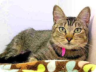 Domestic Shorthair Cat for adoption in Vista, California - Mouse