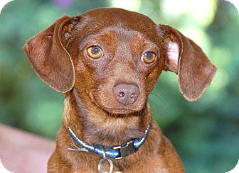 Dachshund/Miniature Pinscher Mix Dog for adoption in Los Angeles, California - Kobe