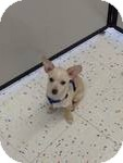 Chihuahua/Maltese Mix Puppy for adoption in Algonquin, Illinois - Angel