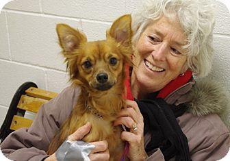 Papillon Mix Dog for adoption in Elyria, Ohio - Benito