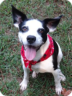 Jack Russell Terrier/Hound (Unknown Type) Mix Dog for adoption in Peachtree City, Georgia - Yoda